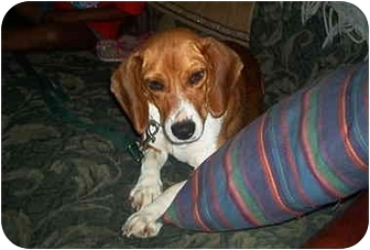 Beagle Dog for adoption in all of, Connecticut - Celia