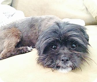 Shih Tzu/Terrier (Unknown Type, Small) Mix Dog for adoption in Encino, California - Tootsie