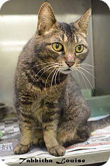Domestic Shorthair Cat for adoption in Texarkana, Arkansas - Tabbitha Louise