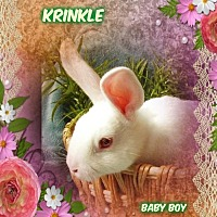 Adopt A Pet :: KRINKLE - Pacific Grove, CA