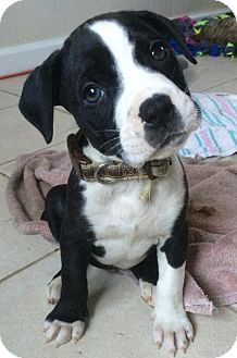 Pit Bull Terrier Mix Puppy for adoption in Mt. Clemens, Michigan - Led Zeppelin