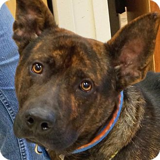 Dutch Shepherd Mix Dog for adoption in Sprakers, New York - Kent