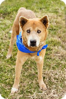 Chow Chow/Shepherd (Unknown Type) Mix Dog for adoption in Pilot Point, Texas - RANGER