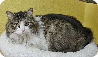 Domestic Mediumhair Cat for adoption in Benbrook, Texas - Nova