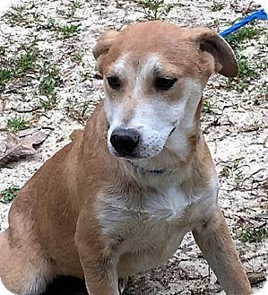 Labrador Retriever/Shepherd (Unknown Type) Mix Puppy for adoption in Chicago, Illinois - Lacey - sweet & smart