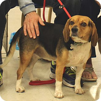 Beagle Mix Dog for adoption in McCormick, South Carolina - Trixie