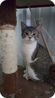 American Shorthair Cat for adoption in Odessa, Texas - Wild man