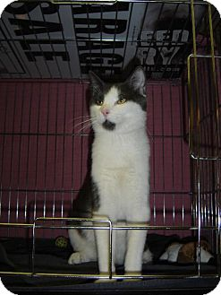 Domestic Shorthair Cat for adoption in Island Heights, New Jersey - Max