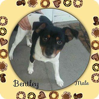 Rat Terrier Mix Dog for adoption in East Hartford, Connecticut - Bentley meet me 7/22