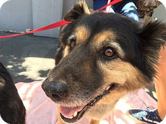 Shepherd (Unknown Type) Mix Dog for adoption in Los Angeles, California - GARLAND