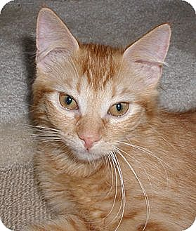 Domestic Shorthair Kitten for adoption in Huntley, Illinois - Amber