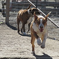 Basenji/Great Dane Mix Dog for adoption in Pie Town, New Mexico - WOODY