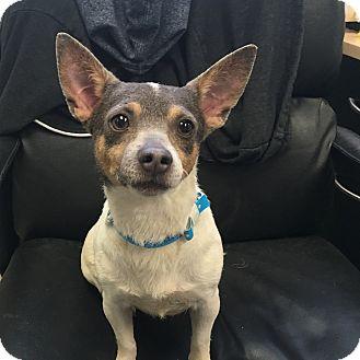 Chihuahua Mix Dog for adoption in Visalia, California - Posie