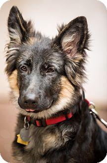 German Shepherd Dog Puppy for adoption in Modesto, California - Tanji