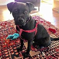Labrador Retriever/American Pit Bull Terrier Mix Dog for adoption in Albuquerque, New Mexico - BARNEY