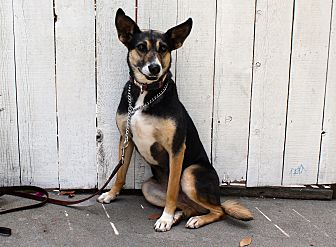 Shepherd (Unknown Type)/Cattle Dog Mix Dog for adoption in Los Angeles, California - Sumitra - from India