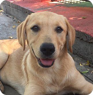 Labrador Retriever Mix Puppy for adoption in Irvine, California - MARLEY