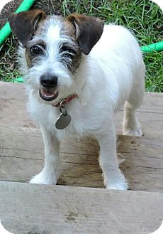 Jack Russell Terrier/Dachshund Mix Puppy for adoption in Kalamazoo, Michigan - Rosie - Deb