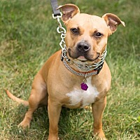 Pit Bull Terrier Mix Dog for adoption in Downingtown, Pennsylvania - Roman