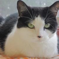 Adopt A Pet :: Sassy - Conway, NH
