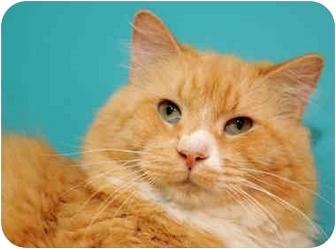 Ragdoll Cat for adoption in Chicago, Illinois - Erik & Annika
