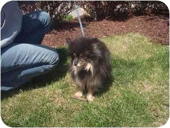 Pomeranian Dog for adoption in Howell, Michigan - Chrissy