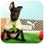 Photo 4 - Basenji/Labrador Retriever Mix Puppy for adoption in Concord, California - Renee