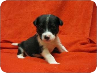 Terrier (Unknown Type, Medium) Mix Puppy for adoption in Houston, Texas - Fozzy Bear