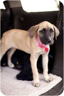 Mastiff/Black Mouth Cur Mix Puppy for adoption in Lake Worth, Florida - LuLu