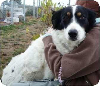 Border Collie Mix Dog for adoption in San Pedro, California - PICA (Courtesy List)