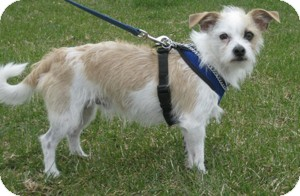 Terrier (Unknown Type, Small) Mix Dog for adoption in Mt. Prospect, Illinois - Leo