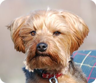 Yorkie, Yorkshire Terrier Dog for adoption in Providence, Rhode Island - Moe