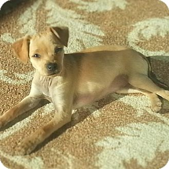 Chihuahua Mix Puppy for adoption in Burbank, California - Blondie - 8 weeks old!