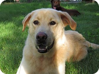 Labrador Retriever/Golden Retriever Mix Dog for adoption in New Canaan, Connecticut - Austin