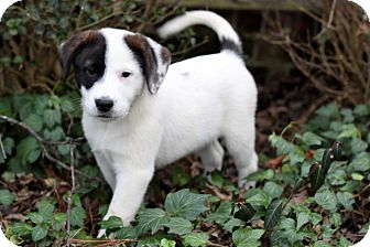 Australian Cattle Dog/Labrador Retriever Mix Puppy for adoption in Salem, New Hampshire - PUPPY CONWAY TWITTY