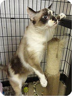 Domestic Mediumhair Cat for adoption in Ozark, Alabama - Layla