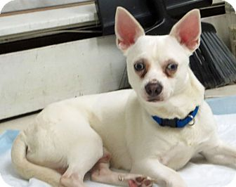 Chihuahua Mix Dog for adoption in Middletown, New York - Charlie