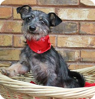 Yorkie, Yorkshire Terrier/Chihuahua Mix Dog for adoption in Benbrook, Texas - Mac