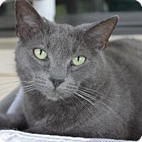 American Shorthair Cat for adoption in Ruskin, Florida - Mona