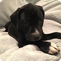 Adopt A Pet :: Felix - Lewisville, IN