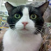 Domestic Shorthair Cat for adoption in Los Angeles, California - Piggly Wiggly