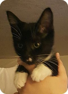 Domestic Shorthair Kitten for adoption in Tumwater, Washington - Shirley