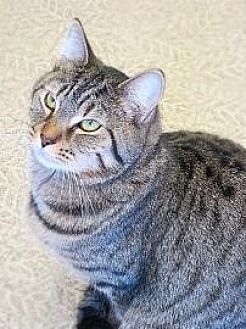 Domestic Shorthair/Domestic Shorthair Mix Cat for adoption in Anderson, Indiana - Tiger