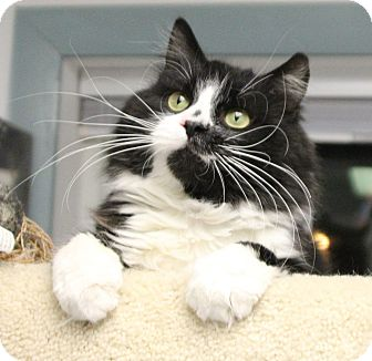 Domestic Longhair Cat for adoption in Medfield, Massachusetts - Jack