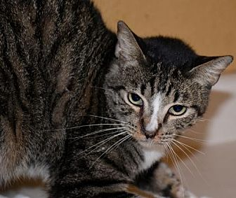 Domestic Shorthair Cat for adoption in Glendale, Arizona - Kosmo AAA Choo