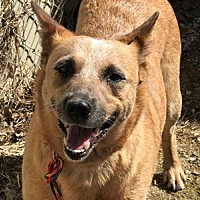 Adopt A Pet :: ACD Sasha Rose - Remus, MI