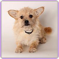 Adopt A Pet :: Chakra - Glendale, AZ