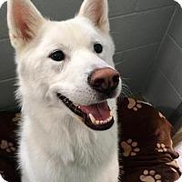 Adopt A Pet :: Namu - Active Young Jindo Mix - Seattle, WA