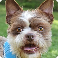 Boston Terrier/Shih Tzu Mix Dog for adoption in Denver, Colorado - Crosby