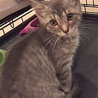Adopt A Pet :: Amethyst - Wheaton, IL